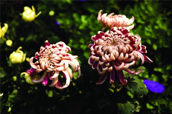 龙和渔业菊花展 百种菊花争相开放