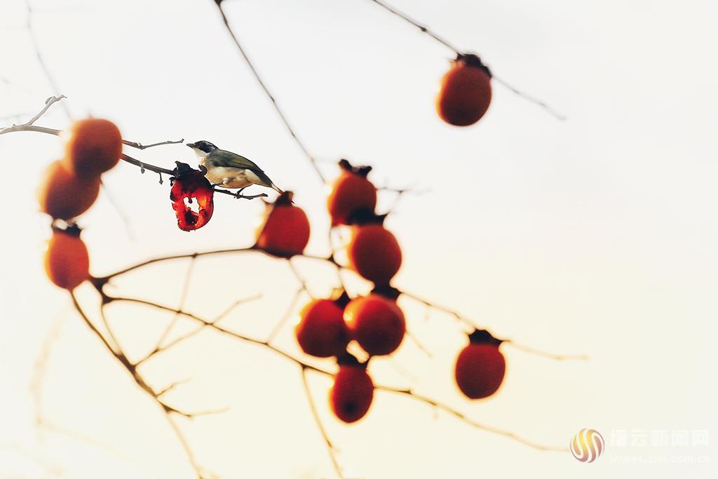 柿熟鸟鸣秋
