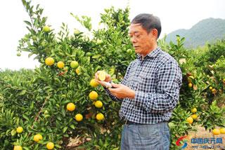 甜橘柚月底将上市