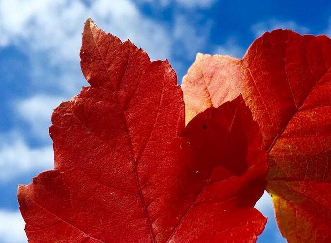 燃烧的红枫