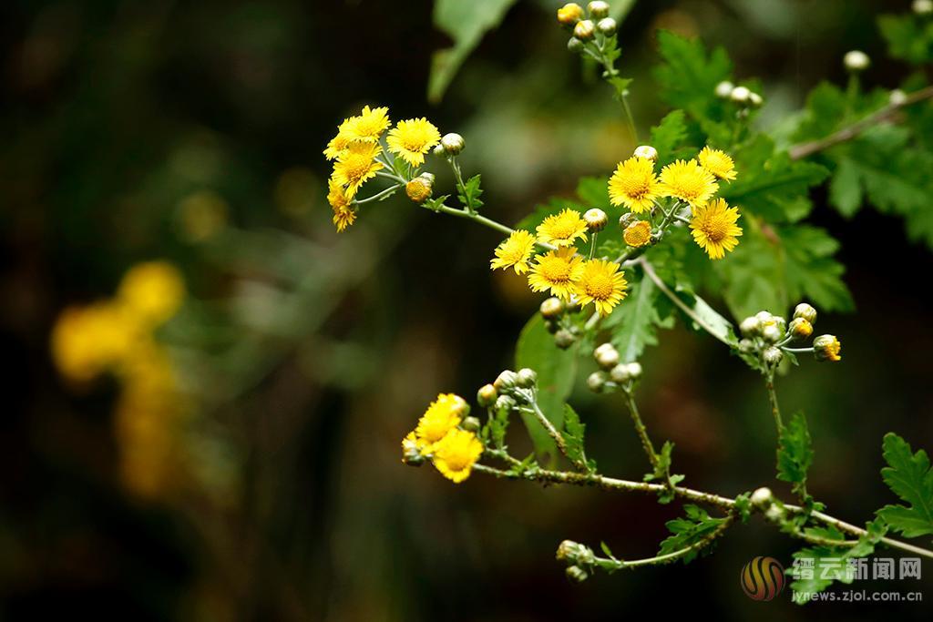 野菊花儿黄