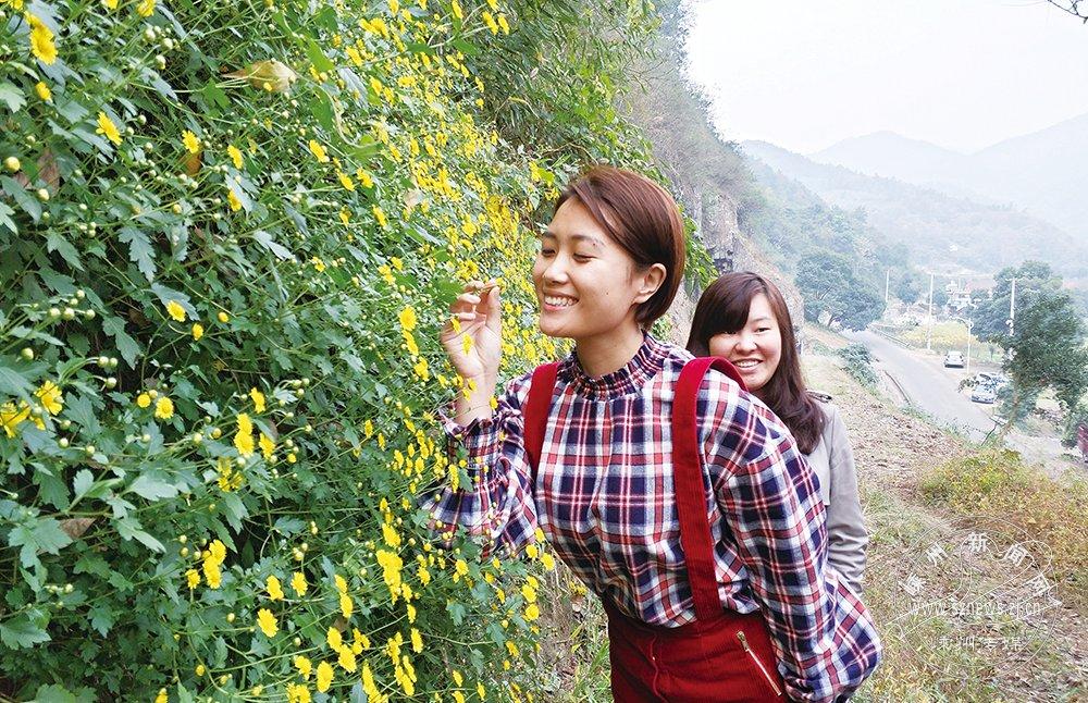 下王镇石舍村:满坡野菊迷游客