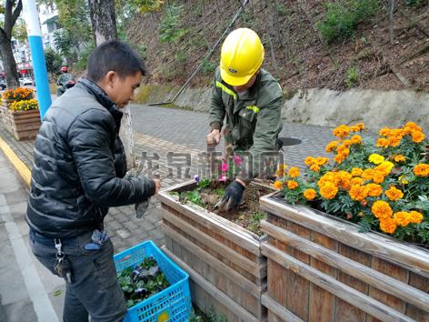 市园林处组织人员更换栽植角堇、石竹、三色堇等时令鲜花10多万盆