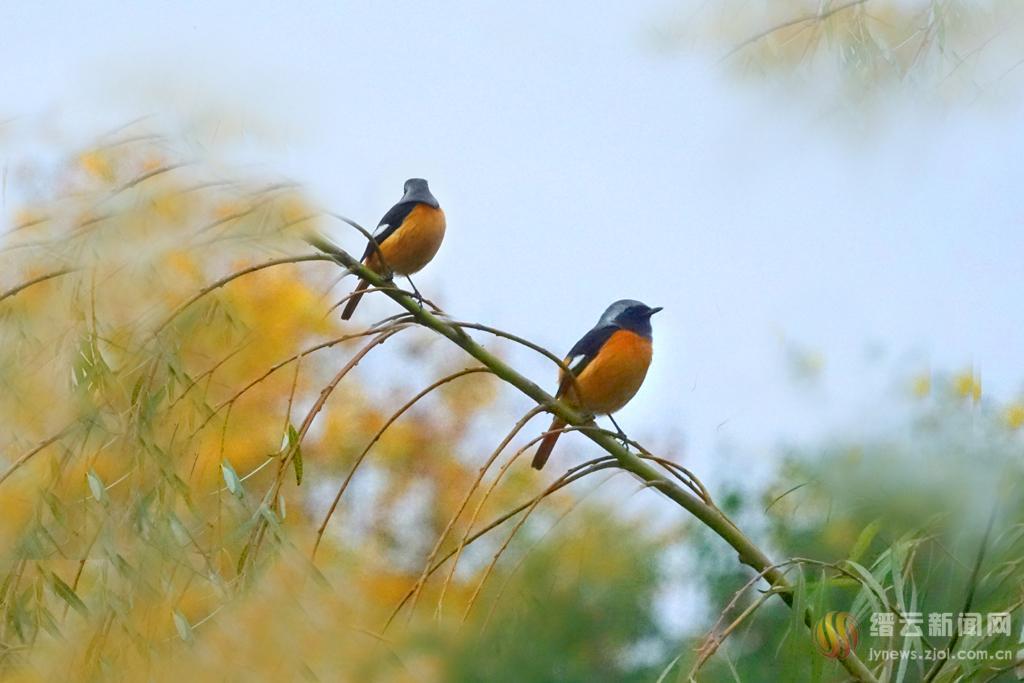 小鸟鸣翠柳