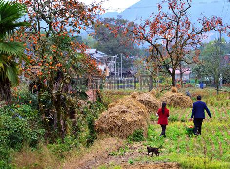初冬时节,道太乡际头、大畈等村庄的房前屋后、田间地头,柿子树上硕果累累