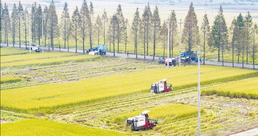 千亩晚稻喜丰收