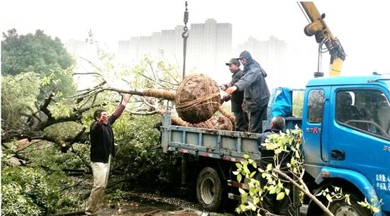 树种移栽为工程让道