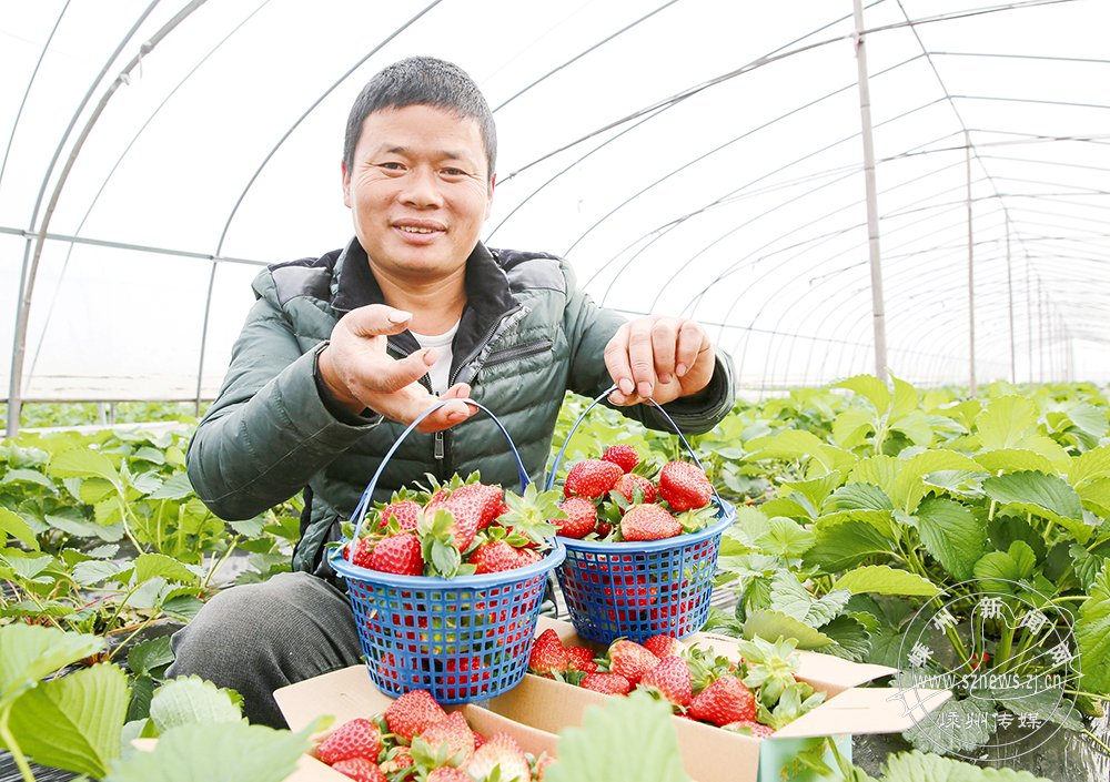 富硒草莓上市 每公斤价格100元左右