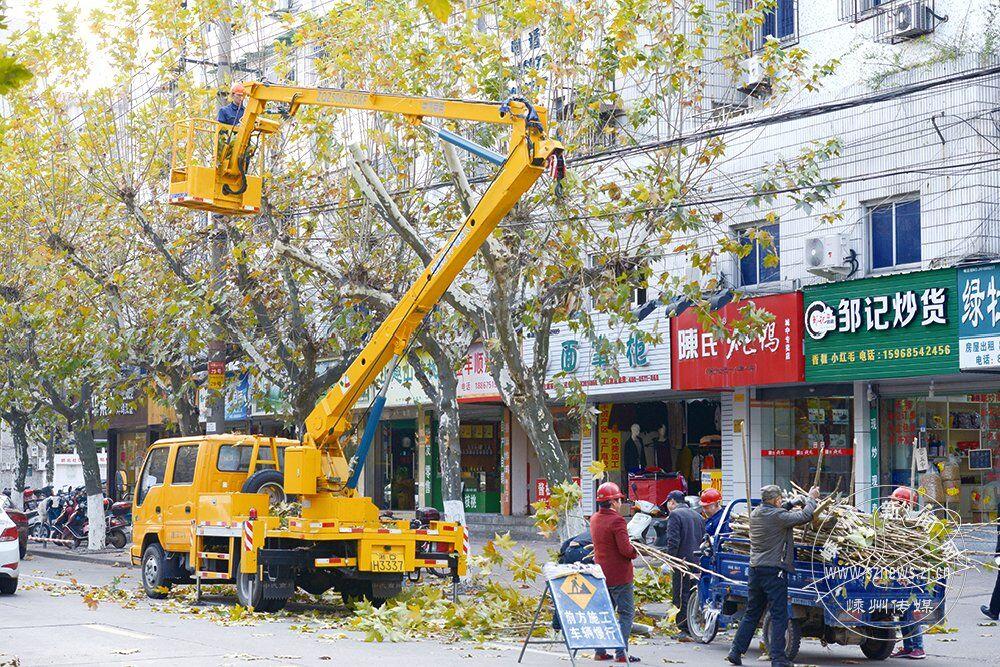 修剪梧桐树
