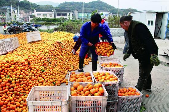 普陀:橘子销路畅通 橘农笑颜绽放