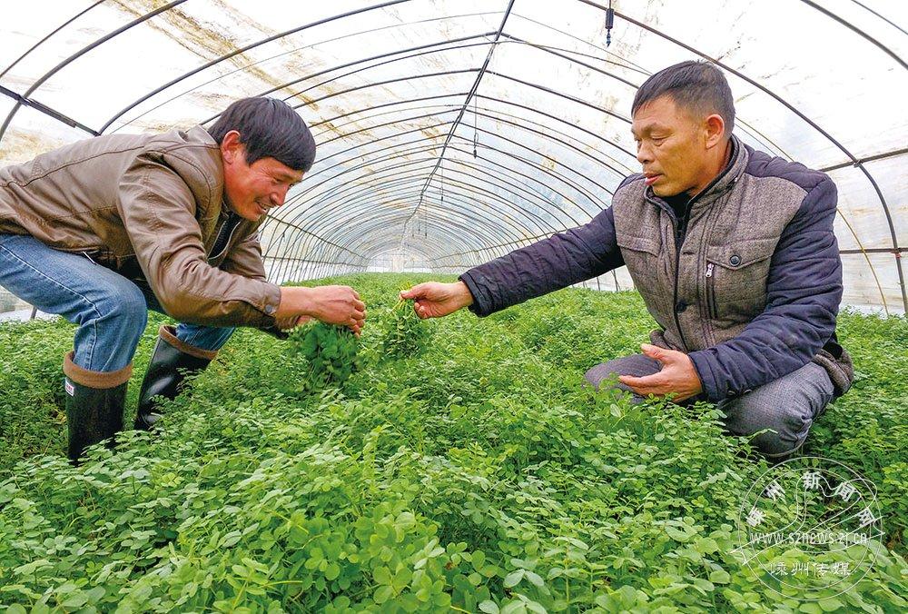 冬日紫云英 每公斤卖40多元
