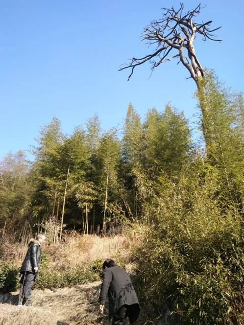 市农林局协助处理病死松树
