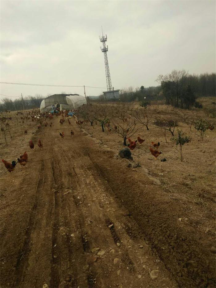 桃园养鸡增收又肥地