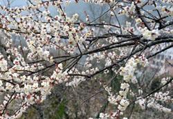 梅送暗香迎新春