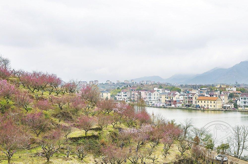 红梅绽放 彰显乡村美景