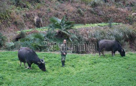 善款买牛生存权 爱心接力续乡愁