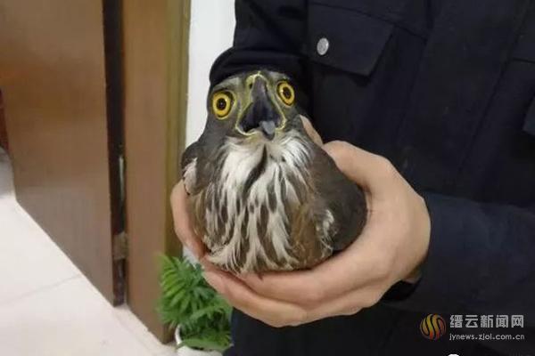 国家二级保护动物松雀鹰被成功救助