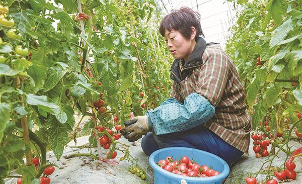 科技种菜 瓜果满架