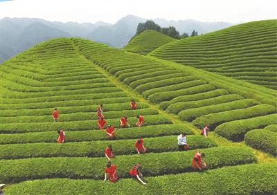 中国有机茶之乡武义 花红柳绿茶飘香