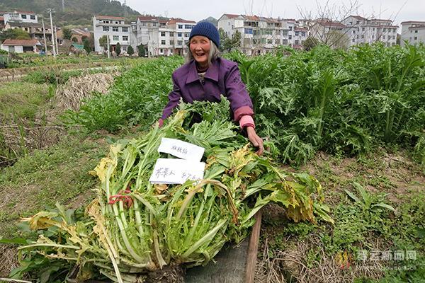 """缙云76岁老太摘冠""""芥菜王""""单株芥菜重47.6斤"""