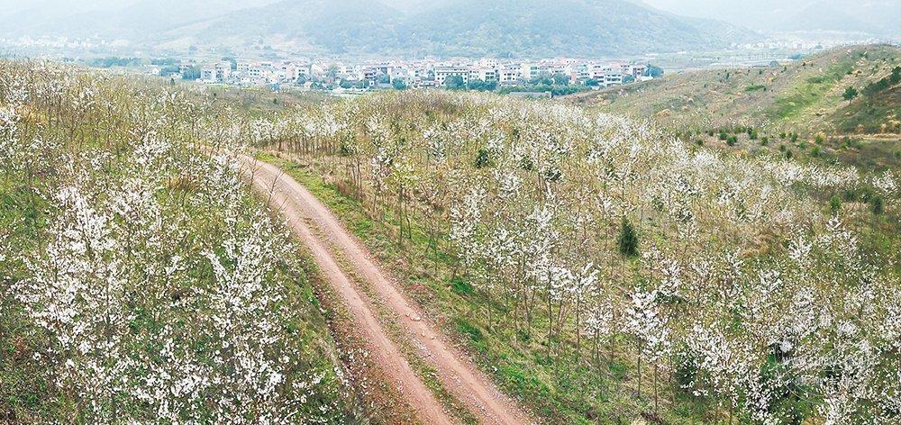 18万株樱花陆续开放