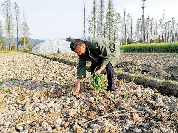 培育甘蔗苗