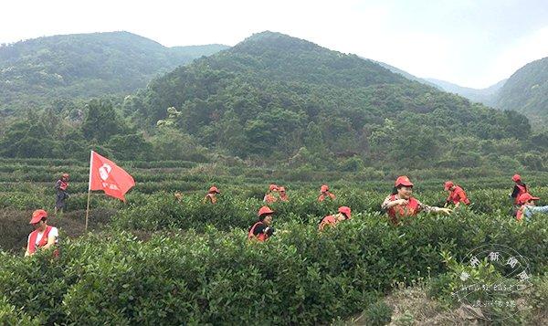 村嫂、志愿者帮茶农采茶叶