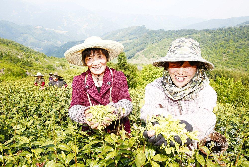 """""""嵊州白茶""""收益可观"""