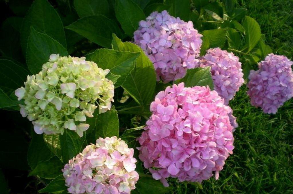 【行行摄摄】绣球花开