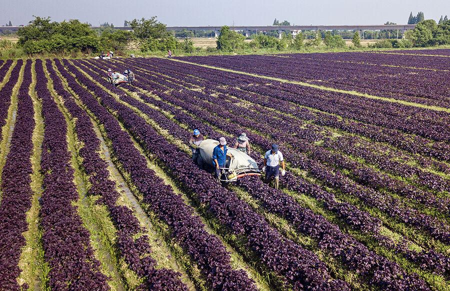 紫苏收割 帮扶致富
