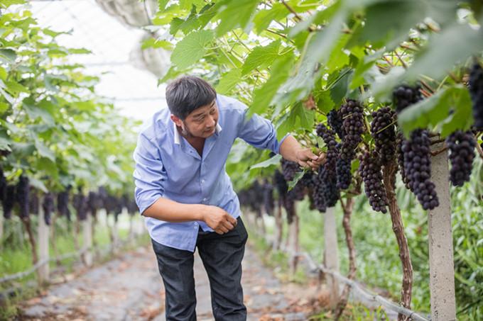 环太湖最早新品葡萄六月上市