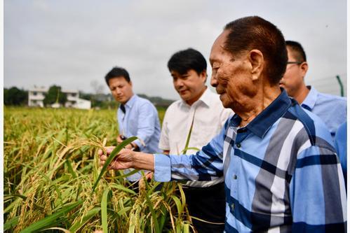 袁隆平携团队试种耐盐碱杂交水稻
