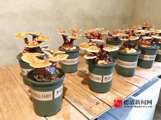 引领盆栽新时尚 食用菌种到花盆里