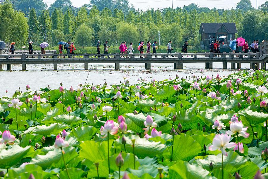 仙山湖赏荷