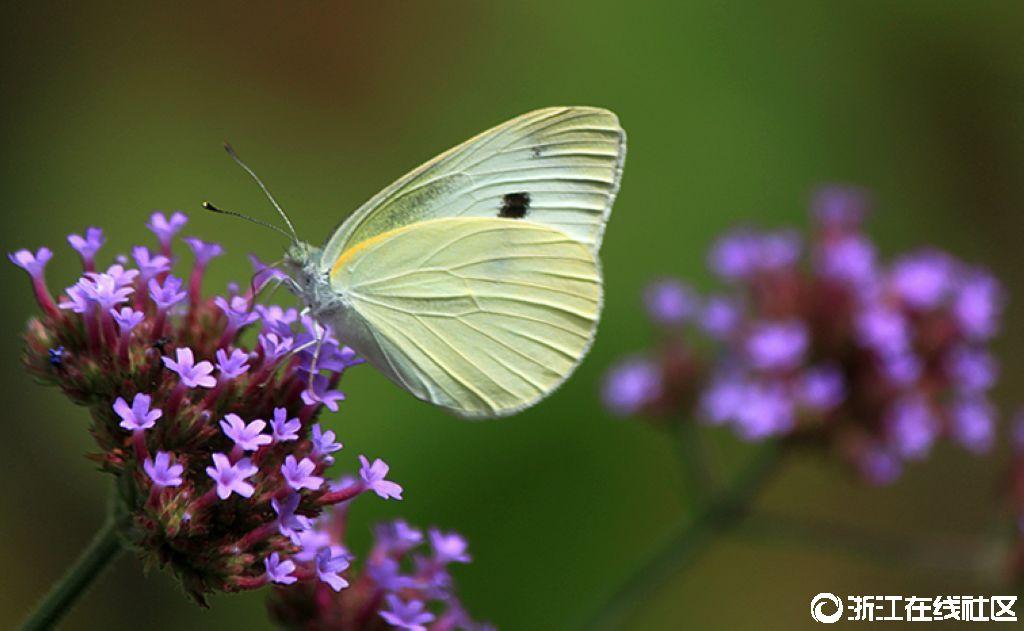 【行行摄摄】蝶之花