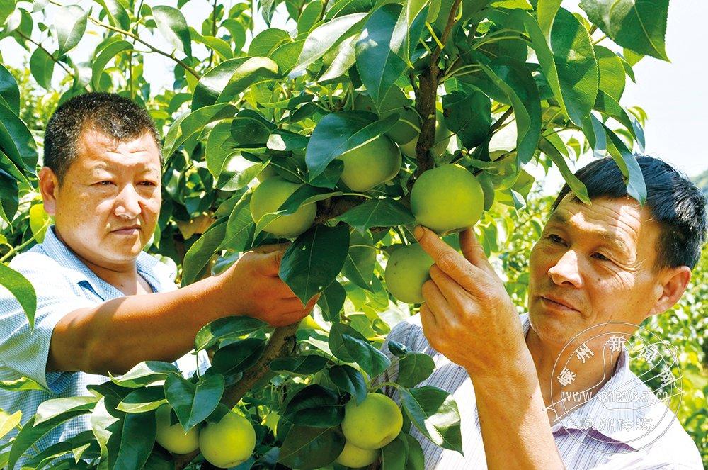 """科技栽种""""苹果梨"""""""
