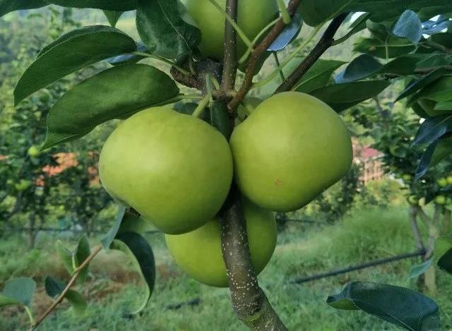 [采摘]脆甜多汁像苹果的梨儿熟啦