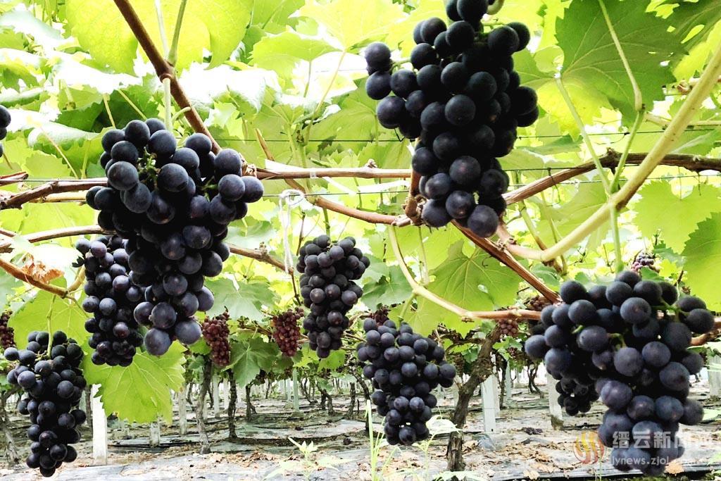 夏黑葡萄熟了!