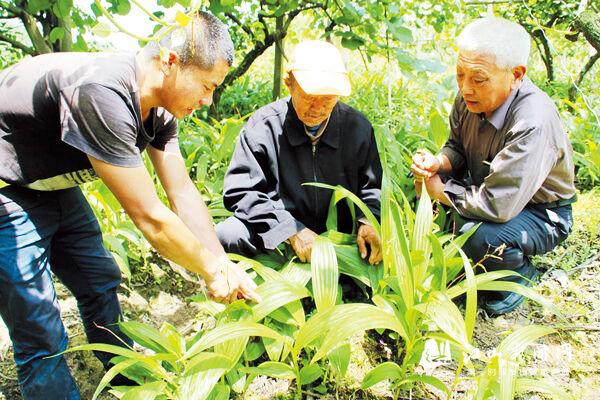 林下育药苗