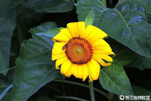 【行行摄摄】向日葵