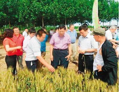 中国杂交小麦研发领跑国际