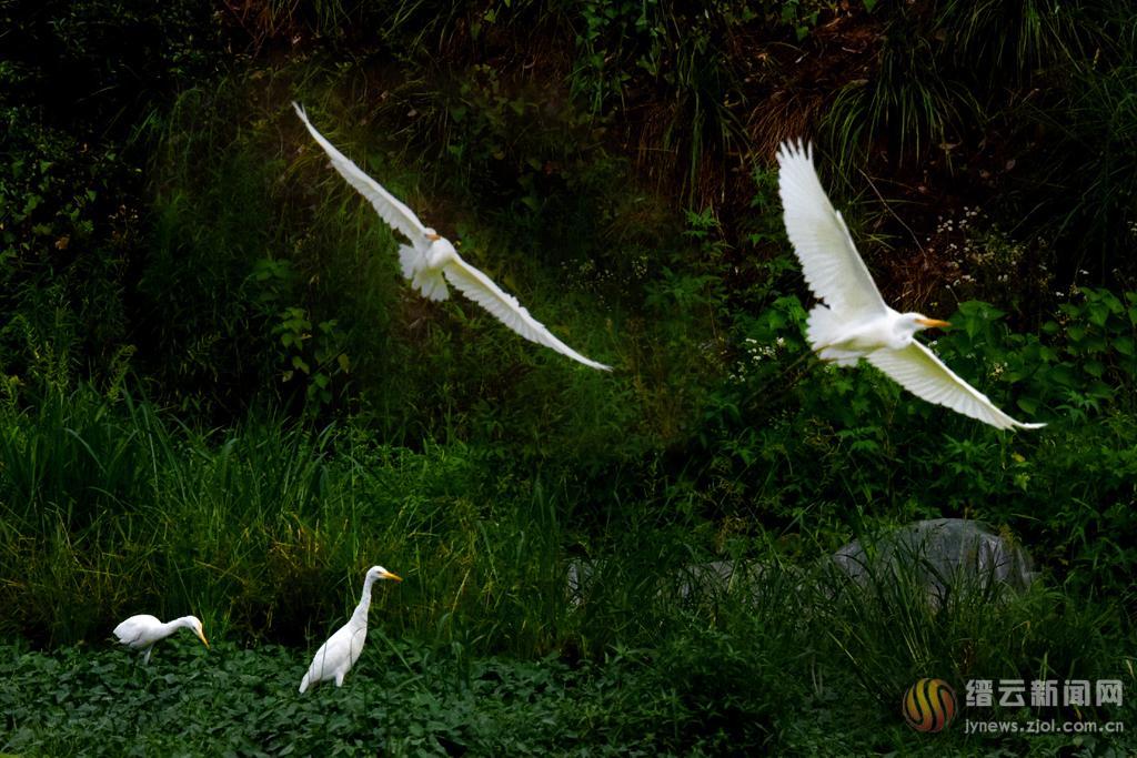 鹭鸟飞 生态美