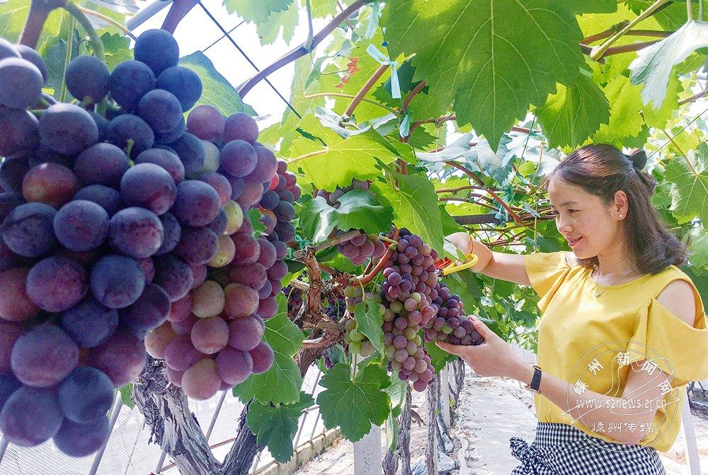 葡萄熟了 价格约每公斤20元