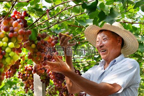 兰巨乡蜜蜂岭村葡萄种植基地的70多亩葡萄喜获丰收