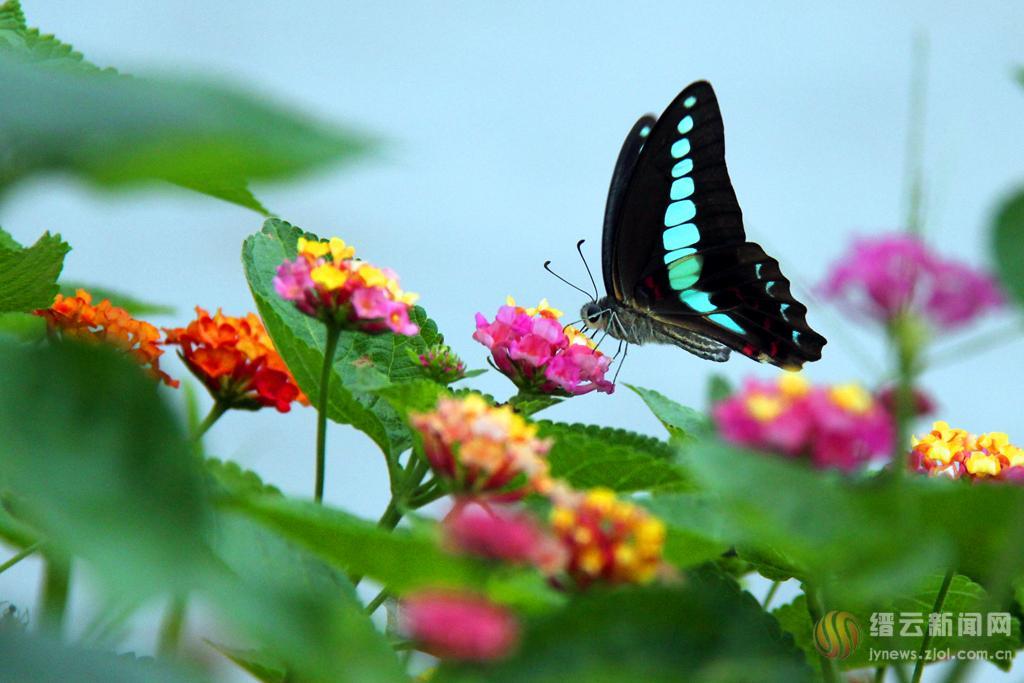 彩蝶绕飞 翅上景
