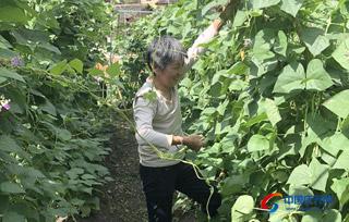 高山四季豆喜获丰收