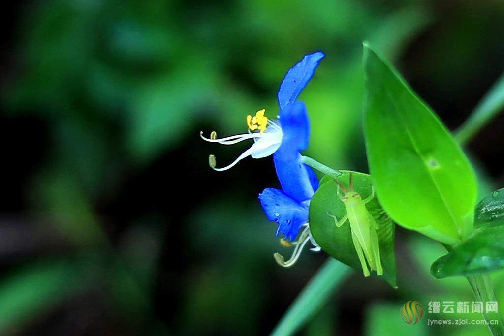 鸭跖草开花蓝又蓝