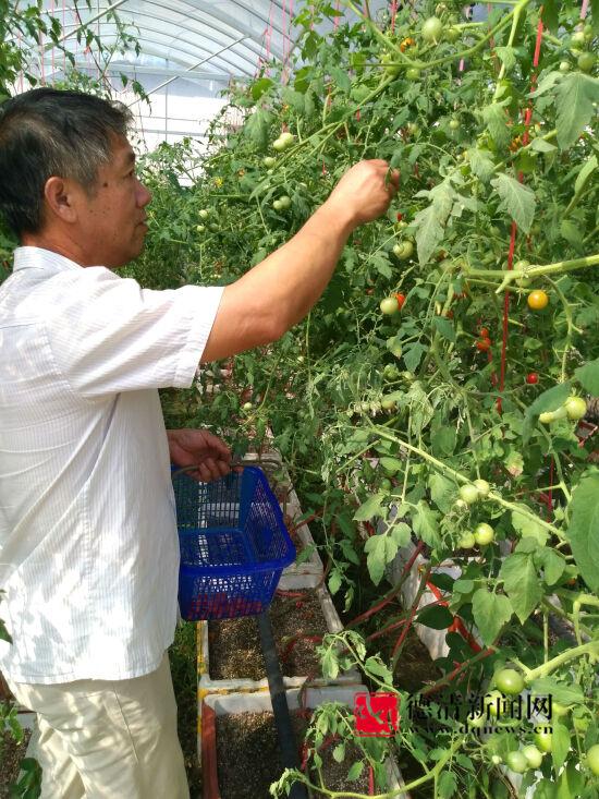 无土栽培小番茄试验成功