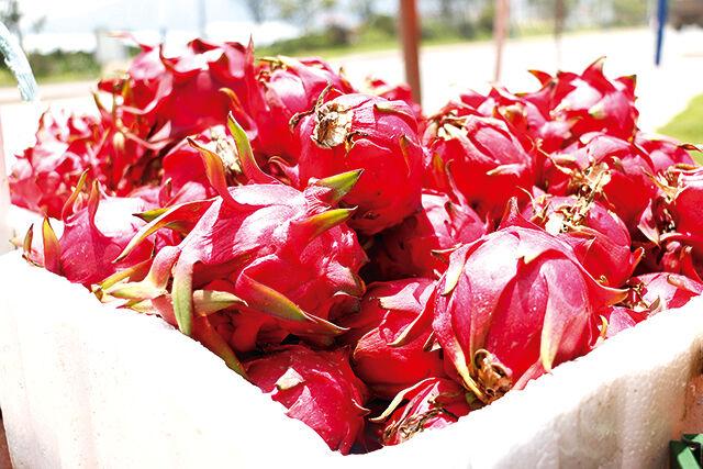 红透半边天,江东红心火龙果成熟了