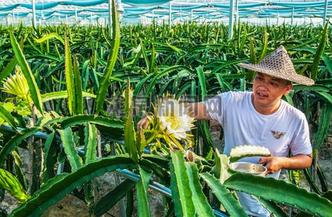 兰巨乡杨志杰家庭农场的火龙果基地迎来丰收期